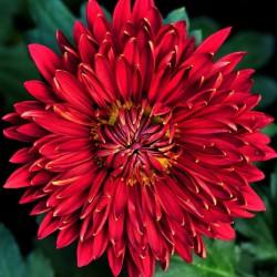 хризантема красная