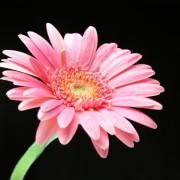 нежно-розовая гербера