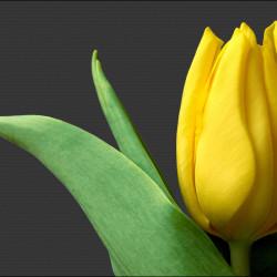 тюльпан-желтый