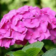 gortenzia нежно-розовая