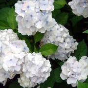 gortenziya белая